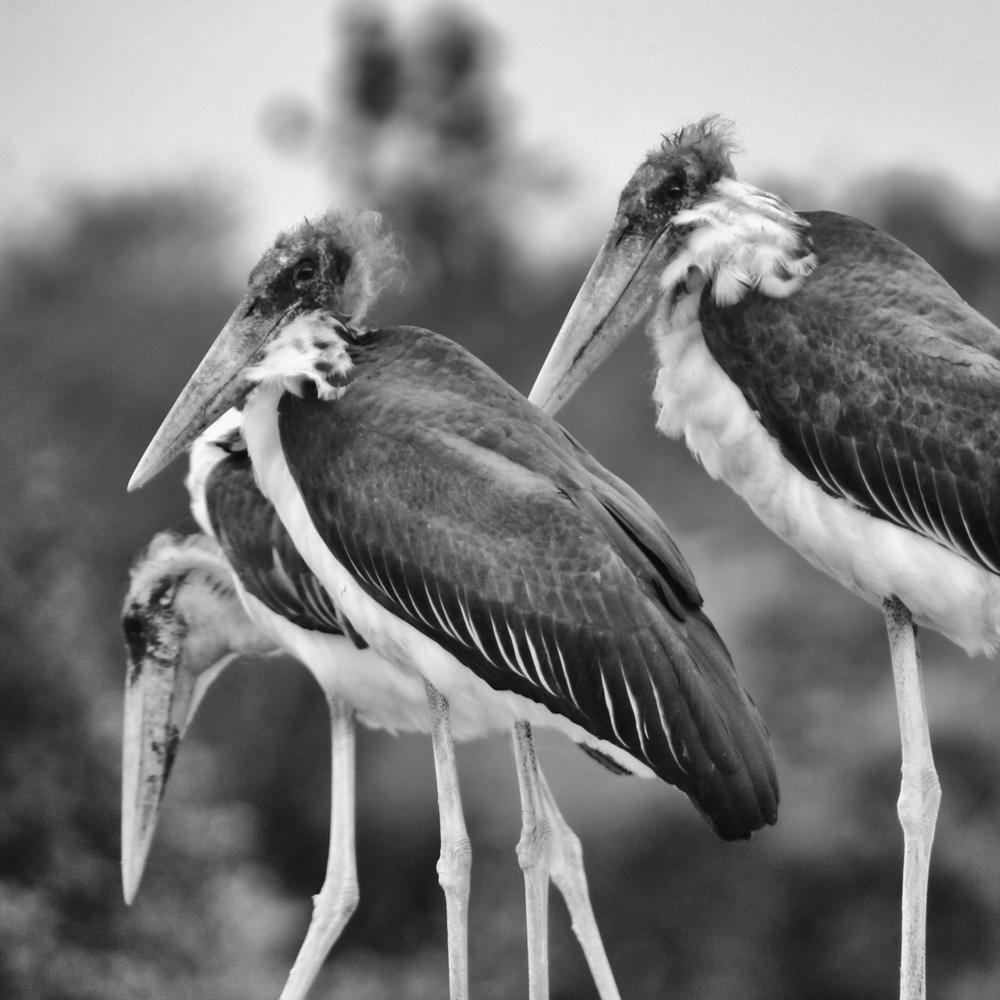 Three massive Marabou storks sitting digesting