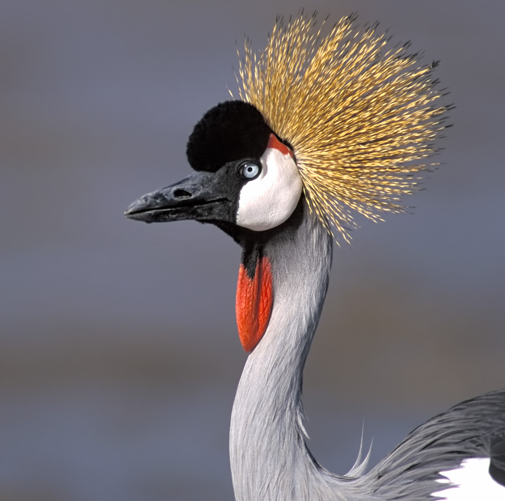 Portrait of a Gray Crowned Crane