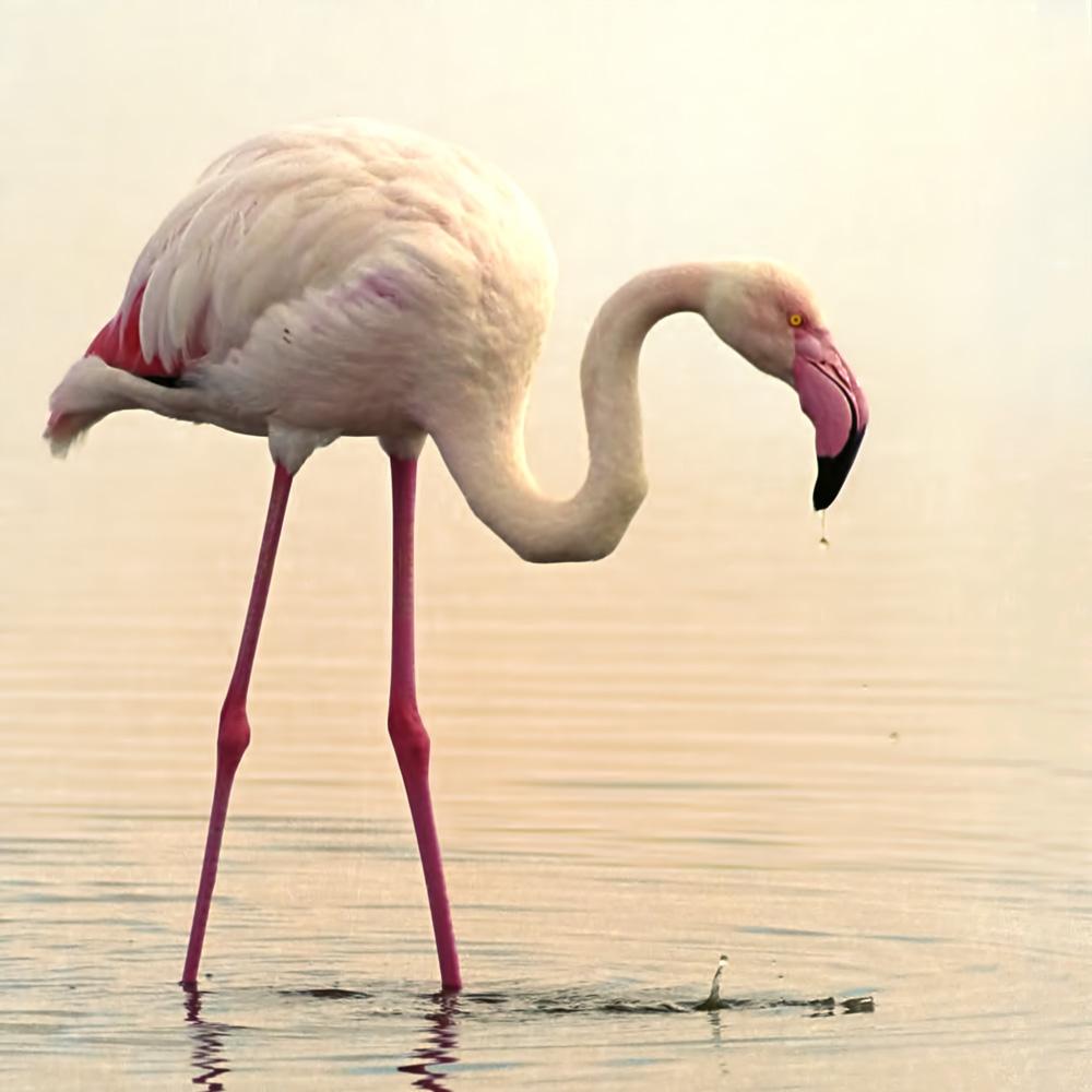 Greater flamingo feeding in the swamp in Amboseli