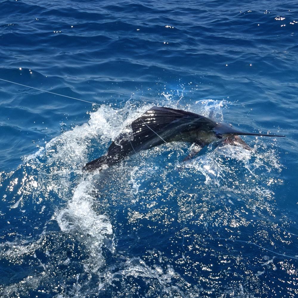Big Sailfish jumping at the side of the boat