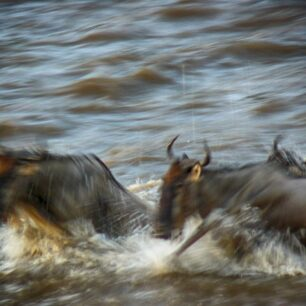Wildebeest frantically running/swimming through the Mara river to reach the shore