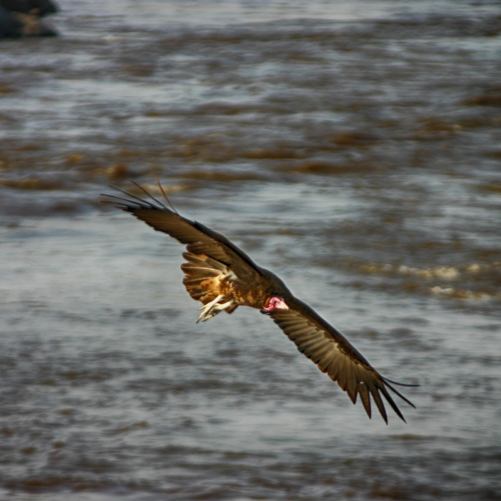 Vulture floating effortlessly over the Mara river