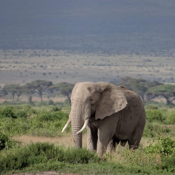 elephant amboseli