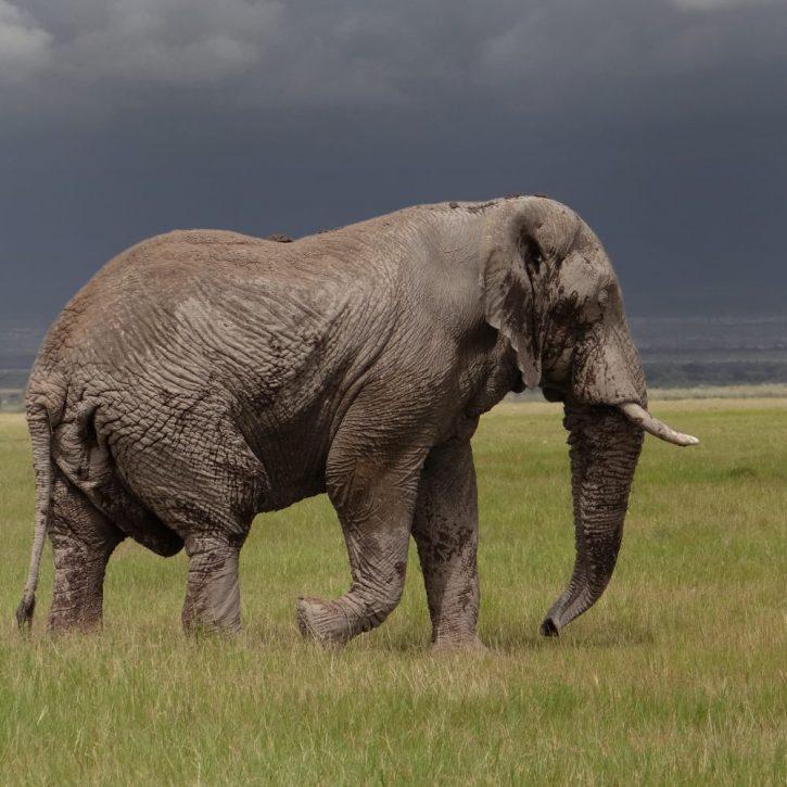 elephant amboseli 2