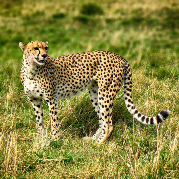 cheeta v2