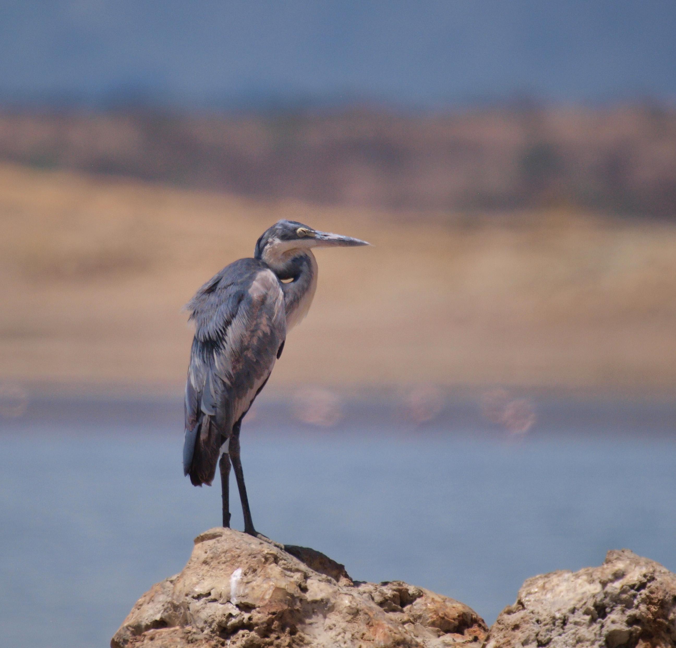 Grey Heron Lake Magadi