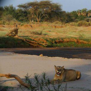 lion-samburu2