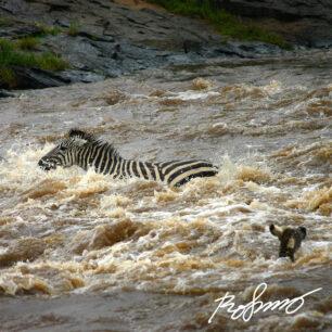 zebras crossing mara river2