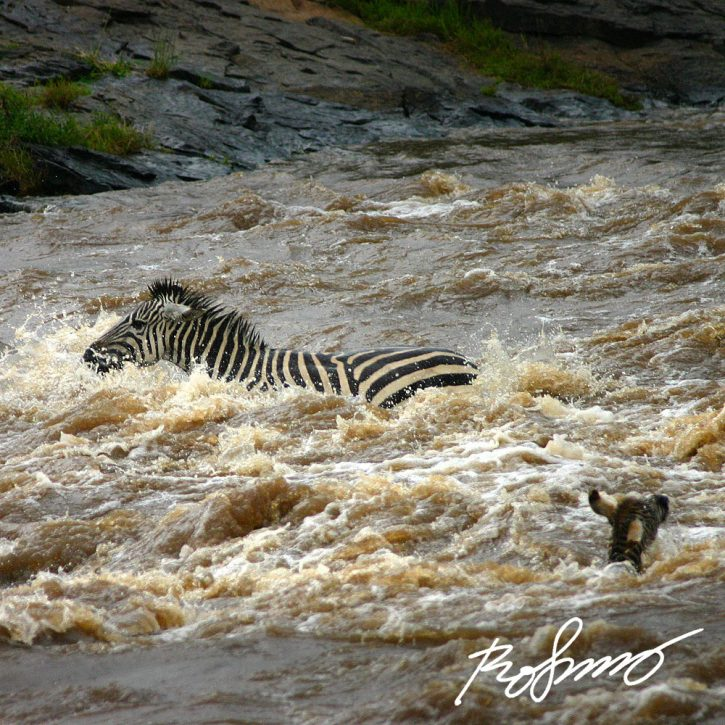 zebras crossing mara river2