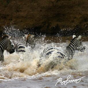 zebras-crossing-mara-river4