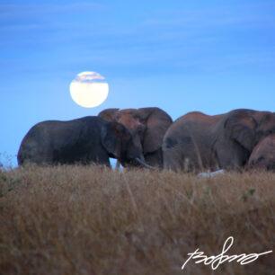 elephant sqare small