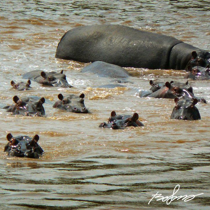 P1020245-hippo