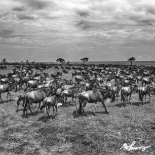 wildebeest-046