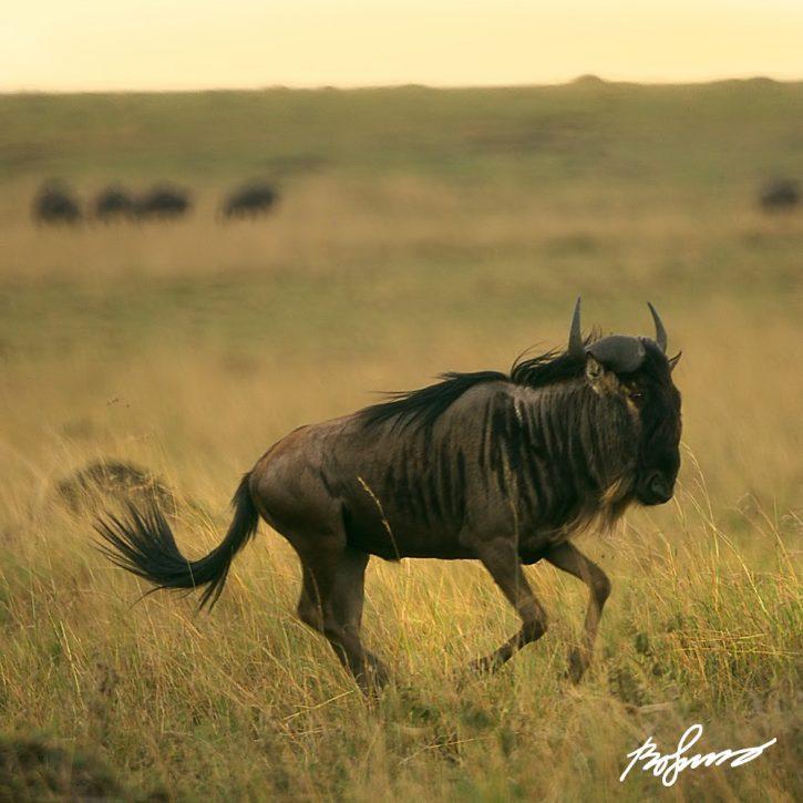 wildebeest-v3